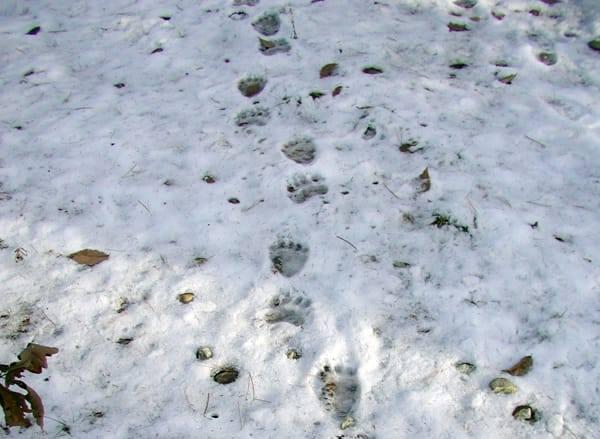 Orso marsicano a spasso per i Monti Simbruini, avvistato esemplare dal personale del Parco